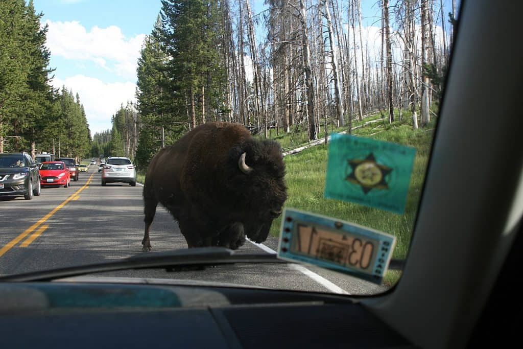bizon3